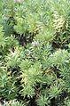 Globularia salicina in the second week of October 1999 in Madeira..jpg