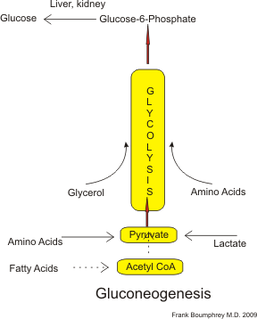 Gluconeogenesis The formation of glucose from noncarbohydrate precursors, such as pyruvate, amino acids and glycerol.