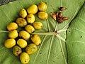 Gmelina arborea Fruit seed (3) 04.jpg