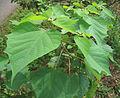 Gmelina arborea plant1.jpg