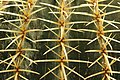 Golden Barrel Cactus - Echinocactus grusonii (40416725460).jpg
