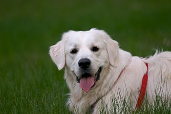 Don't Be Deceived: English Cream Golden Retrievers - The Daily Golden