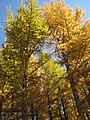 Golden forests at Chongli 崇礼金秋 (8181801081).jpg