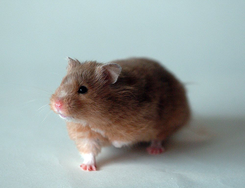 The average litter size of a Golden hamster is 8