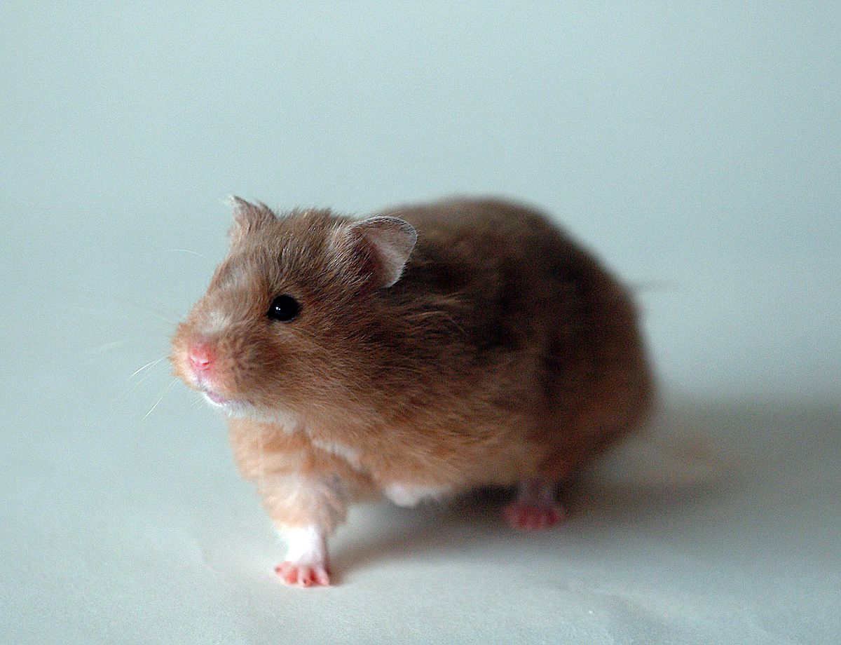 Long Haired Hamster Colors 44