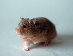 Golden hamster - Image: Golden hamster front 1