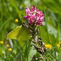 Gonepteryx.rhamni.8234.jpg