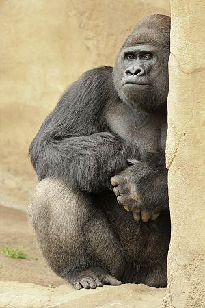 Gorilla gorilla in Hanover Zoo.
