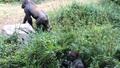 Gorillas-Shana-Zola-Dallas Zoo.png