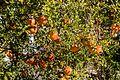 Granado (Punica granatum), Mahdia, Túnez, 2016-09-03, DD 02.jpg