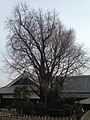 Grand Ginkgo Tree in Kumamoto Castle.jpg