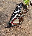 Graphium angolanus01.jpg
