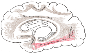 Inferior longitudinal fasciculus - Diagram showing principal systems of association fibers in the cerebrum. (Inferior longitudinal fasciculus labeled at bottom right)