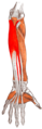 Gray — musculus flexor digitorum profundus.png