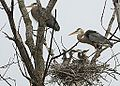 Great Blue Heron Family (7207834582).jpg