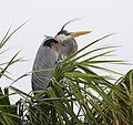 Great Blue Heron at Viera Wetlands - Andrea Westmoreland.jpg