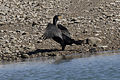 Great Cormorant - Phalacrocorax carbo 04.jpg