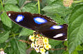 Great Eggfly (6928946508).jpg