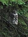 Great Horned Owl (4436805683).jpg