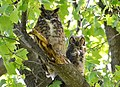 Great Horned Owl and Fledgling (13953496459).jpg