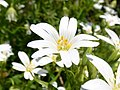 Greater stitchwort (Rabelera holostea) (51165741904).jpg