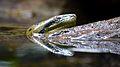 Green Anaconda in Trivandrum Zoo.jpg