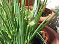 Green onion flower.jpg