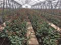 Greenhouses in Armenia 04.jpg