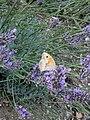 Grenchen - Maniola jurtina on purple flowers v2.jpg