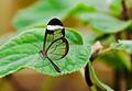 Greta Oto (Glasswing) Butterfly (6917389109).jpg
