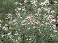 Grevillea australis (12994913864).jpg