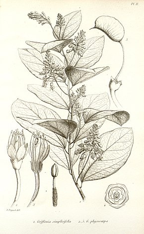 griffonia simplicifolia wikipedia