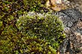 Grimmia pulvinata 104148668.jpg