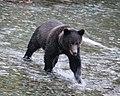 Grizzly cub (1750416827).jpg