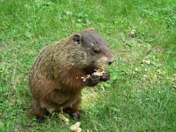 https://upload.wikimedia.org/wikipedia/commons/thumb/6/6b/Groundhog2.jpg/256px-Groundhog2.jpg