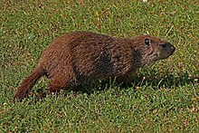 Groundhog - Marmota monax, Leesylvania State Park, Woodbridge, Virginia.jpg