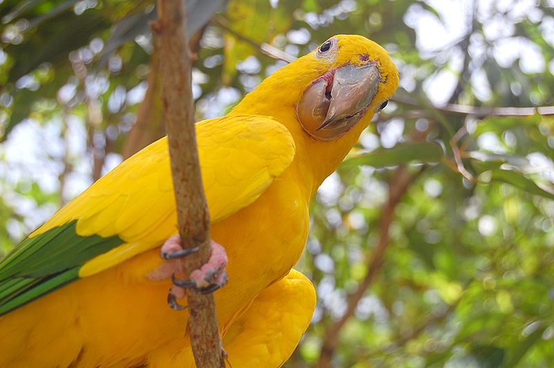 Ficheiro:Guaruba guarouba -Gramado Zoo, Brazil-8b.jpg