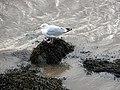 Gull at Pwllheli - geograph.org.uk - 1027860.jpg
