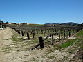 Guyot spur trained vines in Temecula.jpg
