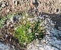 Gypsophila repens at Col de Coux (3).jpg