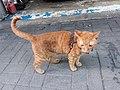 HK 觀塘 Kwun Tong 偉業街 Wai Yip Street brown cat evening June 2019 SSG 05.jpg