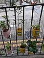 HK SYP 西營盤 Sai Ying Pun 水街 Water Street 小盤栽 green plants October 2020 SS2 06.jpg