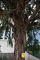 HL-058 Taxus CF9A1642.jpg