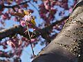 Hakodate Goryōkaku Park Sakura May 2016 4.jpg