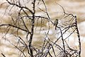 Hammond's flycatcher (Empidonax hammondii) perched along the Yellowstone RIver (eb9a88c2-4bdf-49d7-9ec1-0858406847d5).jpg