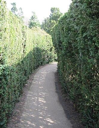 Hedge maze - Inside Hampton Court hedge maze
