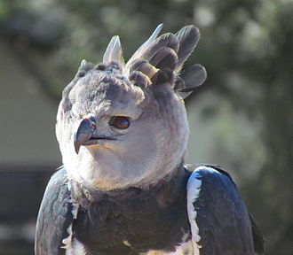 Harpy eagle - Upper body of an adult in captivity