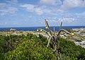 Harrisia portoricensis.jpg