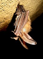 Healthy Virginia big-eared bat (4387622721).jpg
