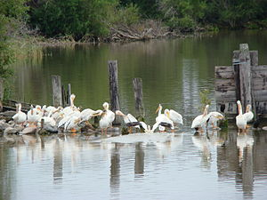 Lake Winnipeg - American White Pelicans loaf near shore, Hecla-Grindstone Provincial Park
